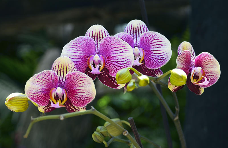 Come far rifiorire le orchidee facilmente