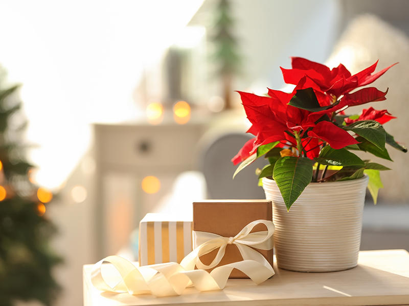 Foto Stella Di Natale.Stella Di Natale Come Conservarla Articoli Da Lafiorista It