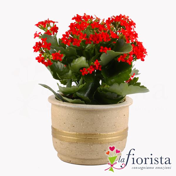 Vendita kalanchoe consegna fiori a domicilio gratis for Piante e fiori da appartamento