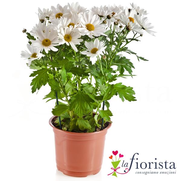 vendita pianta di margherita consegna fiori a domicilio