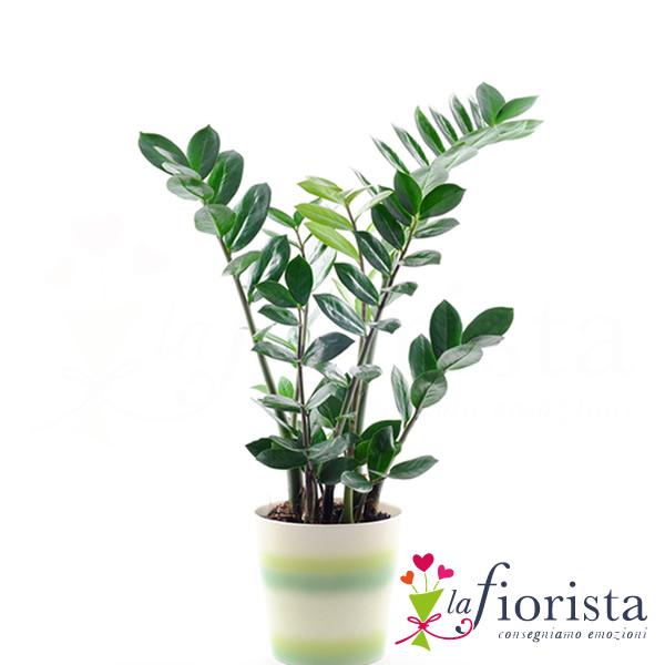 Vendita pianta di zamioculcas consegna fiori a domicilio for Pianta zamioculcas