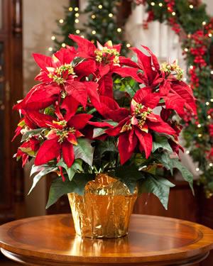 High Quality Fiori Natalizi E Stelle Di Natale